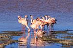 James-Flamingos,  Laguna Colorada, Bolivien