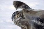 Weddelrobbe (Leptonychotes weddellii), Paradiese Bay, Antarktis