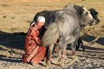 Beim Melken der Yaks,  Pamir, Tadschikistan