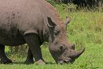 Breitmaulnashorn, Ziwa Rhino Sanctuary, Uganda