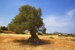 Olivenbaum, Soloi