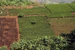 Teeplantage, Uganda