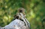 Grüne Meerkatze, Kwai River Region, Moremi Game Reserve, Okavango-Delta