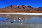 Flamingos, Laguna Colorada, Bolivien