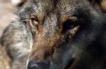 Iberischer Wolf (Canis lupus signatus), Spanien (Gehege)