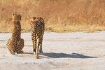 Geparden, Nxai Pan Nationalpark