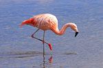 Chile-Flamingo (Flamenco chileno), Laguna Hedionta, Bolivien