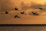Kuba-Flamingos, Bigi Pan Naturreservat, Surinam