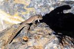 Scorpionschwanz-Gecko, Jebal Shams