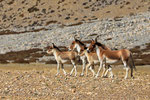 Kiang-Wildesel (Equus kiang), Tibet