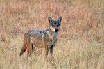 Indischer Wolf, Velavadar Nationalpark, Gujarat
