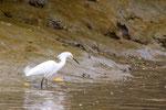 Silberreiher, Pigi Pan Naturreservat, Surinam