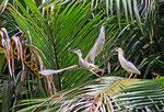 Mangrovenreiher, Georgetown, Guayana