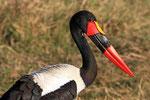Sattelstorch, Moremi Game Reserve, Okavango-Delta