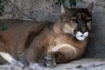 Puma (Felis concolor), Arizona (Gehege)