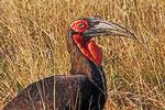 Hornrabe, Moremi Game Reserve, Okavango-Delta