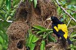 Gelbrücken-Stirnvogel, Orinoco-Delta