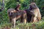Paviane, Uganda