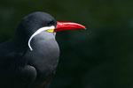 Inka-Seeschwalbe (Larosterna inca), Vogelpark Walsrode