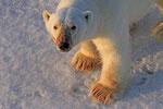 Eisbär (Ursus maritimus), Spitzbergen