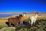 Lamas, Laguna Colorada, Bolivien