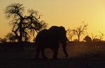 Elephant, Kwai River Region, Moremi Game Reserve, Okavango-Delta