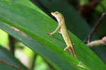 Anolis, Tortugera Nationalpark, Costa Rica