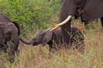 Elefant, Murchison Falls Nationalpark, Uganda
