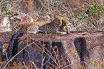 Leopard mit Baby,  Moremi Game Reserve, Okavango-Delta