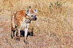 Tüfelhyäne,  Moremi Game Reserve, Okavango-Delta