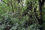 Regenwald, Bwindi Impenetrable Forest, Uganda