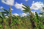 Bananenplantage, Santiago de los Caballeros, Dominikanische Republik
