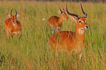 Uganda Kob, Queen Elizabeth Nationalpark, Uganda