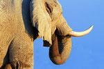 Elefant, Nxai Pan Nationalpark