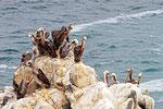 Chile-Pelikane an der Pazifikküste, Chile