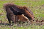 Ameisenbär, Hato El Cedral, Llanos