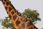 Rothschild-Giraffe mit Madenhackern, Uganda
