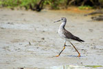Schlammtreter, Bigi Pan Naturreservat, Surinam