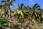 Kokospalmen, Salto del Limon, Dominikanische Republik