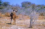 Kudu, Nxai Pan Nationalpark