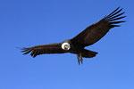 Anden-Kondor ( Vultur gryphus), Reserva Nacional Las Vicunas, Chile