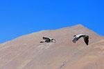 Schwarzhalskranich (Grus nigricollis), Tibet