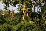 Leberwurstbaum, Uganda
