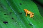 Goldfrosch,  Kaieteur National Park, Guayana