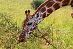 Rothschild-Giraffe, Uganda