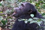 Schimpanse  (Pan troglodytes), Kibale Forest Nationalpark, Uganda