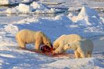 Eisbären mit Riss, Erik Eriksenstetet