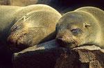 Südafrikanische Seebären, Kreuzkap
