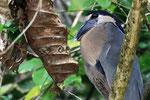 Kahnschnabel (Cochlearius cochlearius), Costa Rica