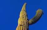 Saguaro-Kaktus, Arizona